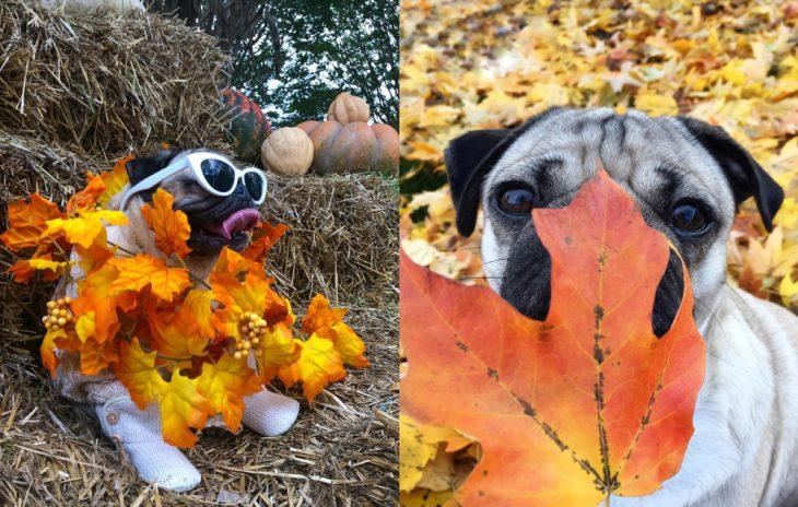 perro posando con hojas otoñales