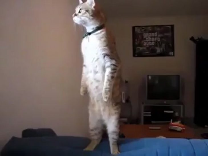 gato de pie con ojos abiertos