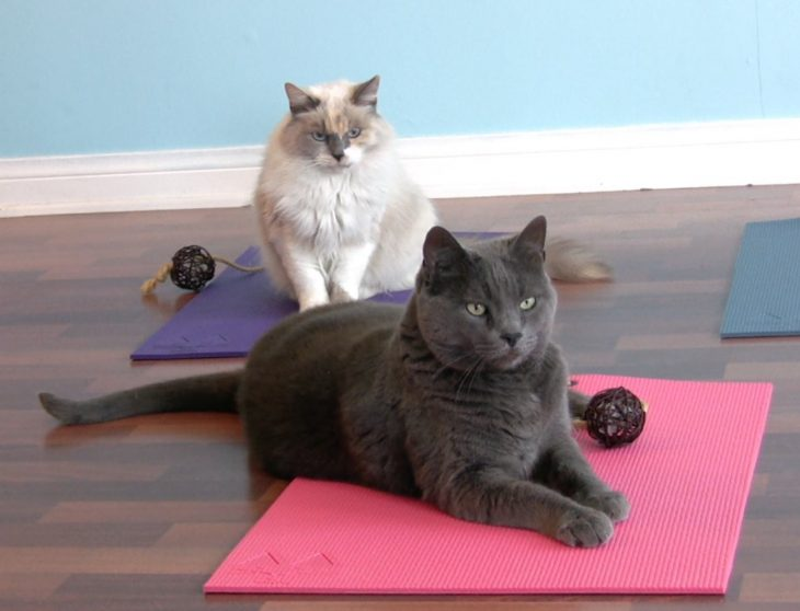 Gato blanco y negro acostados sobre tapetes para yoga