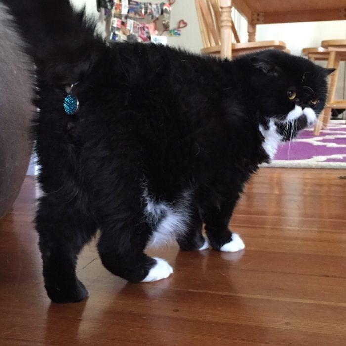 Gato negro y blanco con joya azul en la cola