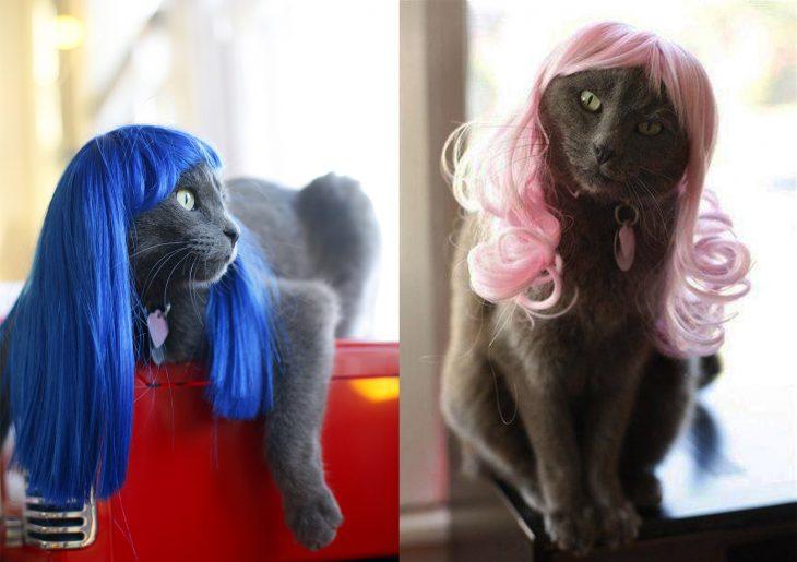 Gatos grises con pelucas rosa y azul