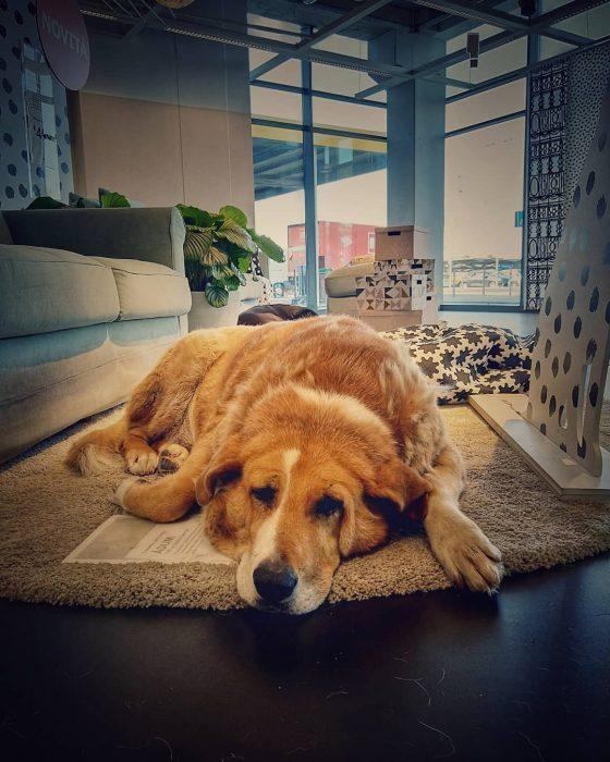 perro recostado sobre una alfombra beige
