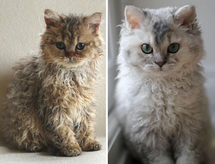 gatos con cabello rizado chino