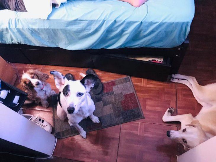 perros recostados en una alcoba