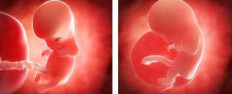 Semana paso a paso del crecimiento de un embrión