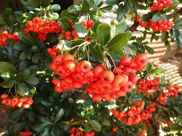 Frutos de espinos de fuego