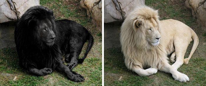 león con pelaje negro