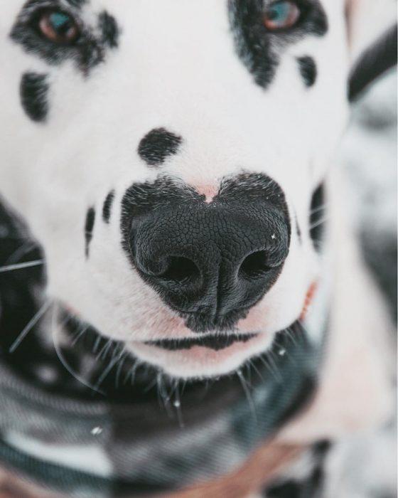 Perro dálmata con mancha en forma de corazón en la nariz