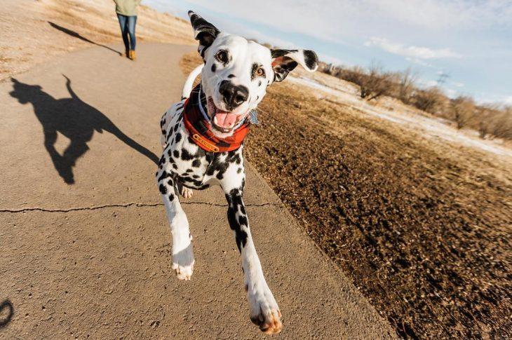 Perro dálmata con mancha en forma de corazón en la nariz corriendo