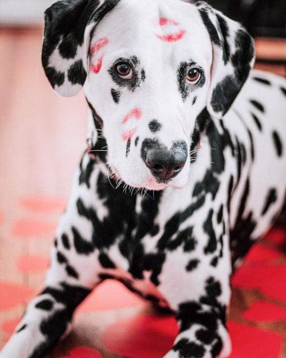 Perro dálmata con mancha en forma de corazón en la nariz con besos pintados en la cara