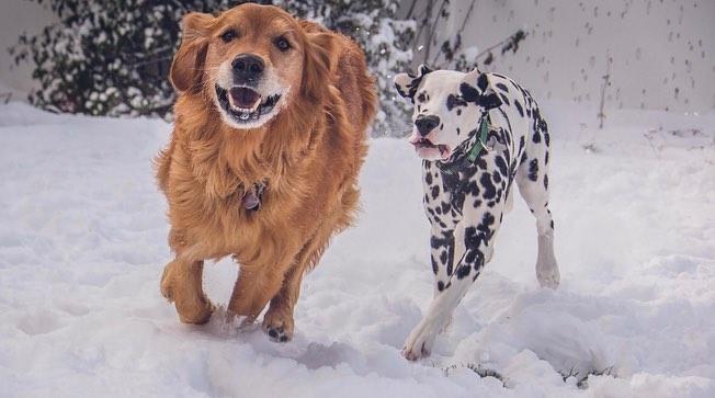 Perro dálmata con mancha en forma de corazón en la nariz corriendo con un perro golden retriever café
