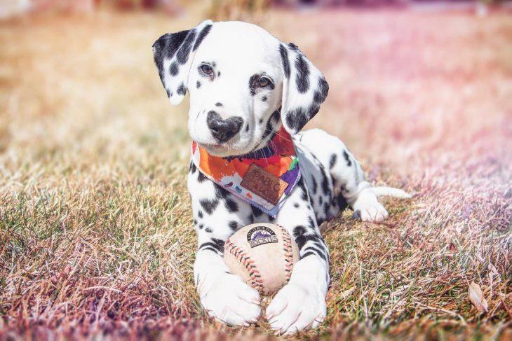 Perro dálmata con mancha en forma de corazón en la nariz con bola de baseball