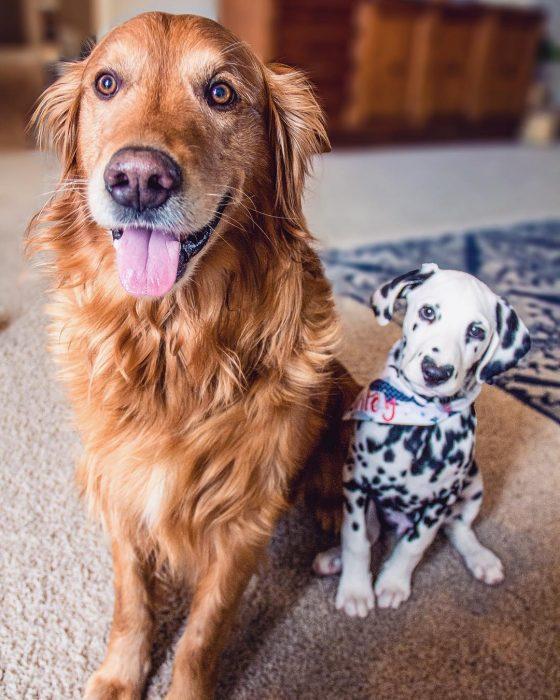 Perro dálmata con mancha en forma de corazón en la nariz con un perro golden retriever café