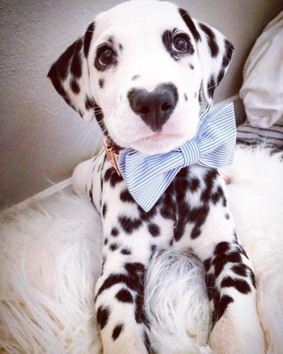 Perro dálmata con mancha en forma de corazón en la nariz con moño azul