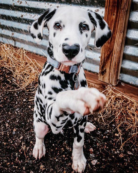 Perro dálmata con mancha en forma de corazón en la nariz dando la pata