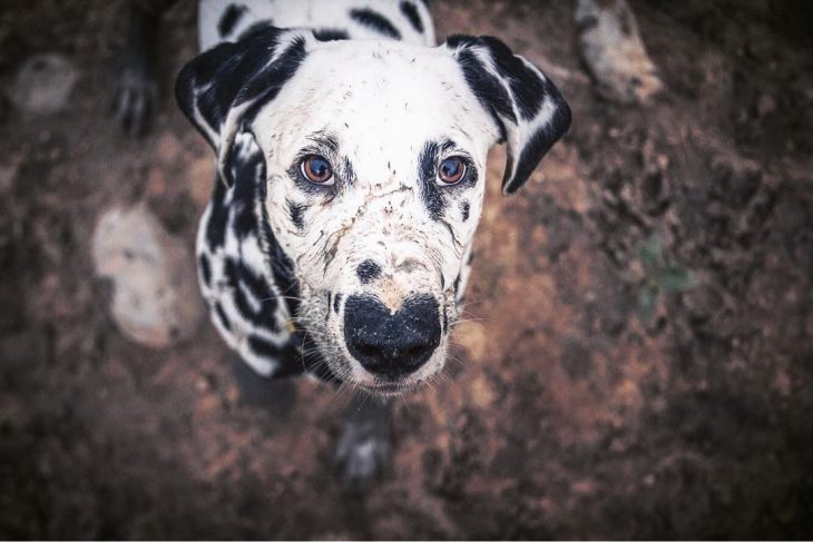 Perro dálmata con mancha en forma de corazón en la nariz lleno de lodo