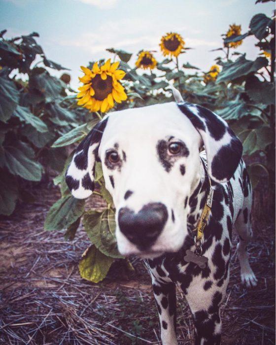 Perro dálmata con mancha en forma de corazón en la nariz en un campo de girasoles