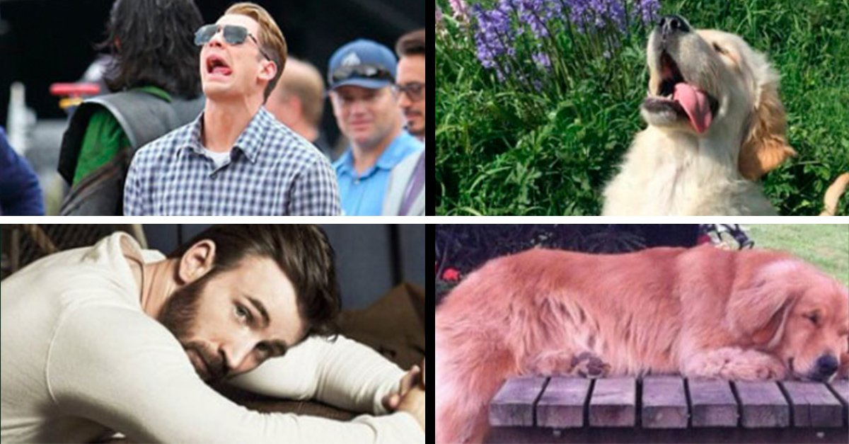 Esta cuenta de Twitter compara a Chris Evans con un Golden Retriever y es adorable
