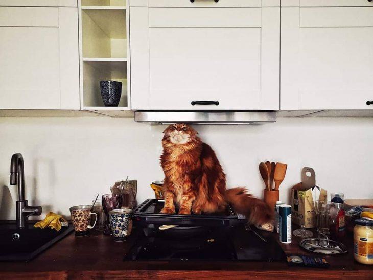 gato sentado en un comal de cocina