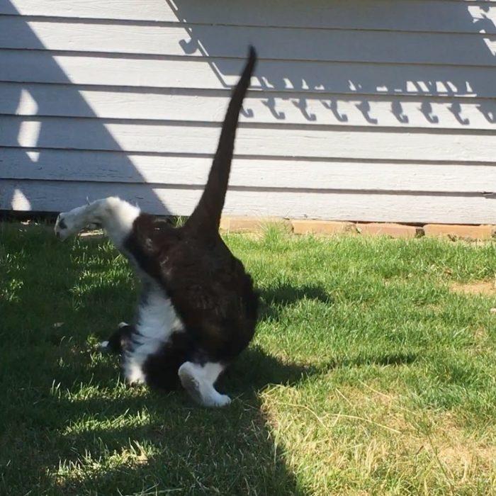 Gato estirado haciendo yoga