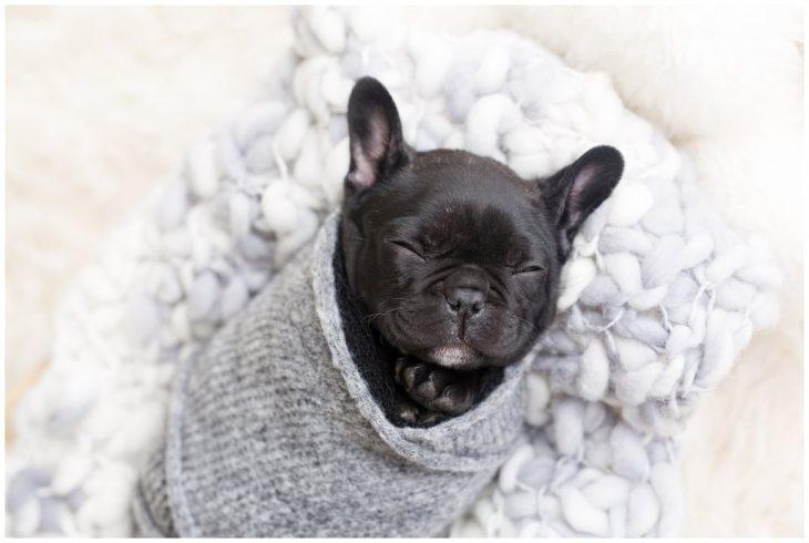 Bulldog francés color negro, envuelto en una cobija de estambre gris, durante una sesión de fotos estilo newborn