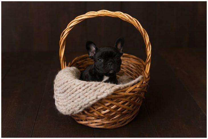 Bulldog francés negro dentro de una canasta de madera barnizada, durante una sesión de fotos estilo newborn