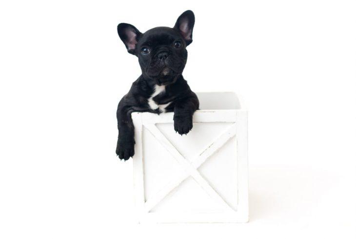 Bulldog francés negro, dentro de una caja de madera blanca, durante una sesión de fotos estilo newborn