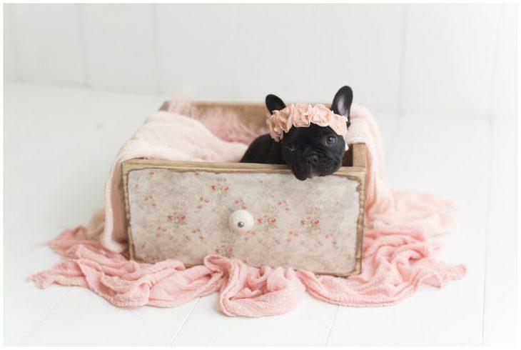 Bulldog francés negro dentro de un cajón de madera, cobijado con una manta rosa coral durante una sesión de fotos estilo newborn