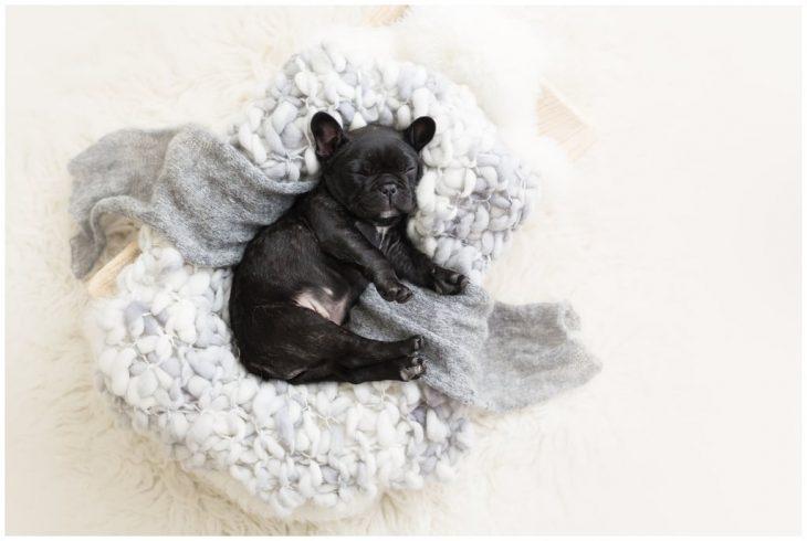 Bulldog francés negro, recostado sobre una cobija esponjosa color blanco, durante una sesión de fotos estilo newborn