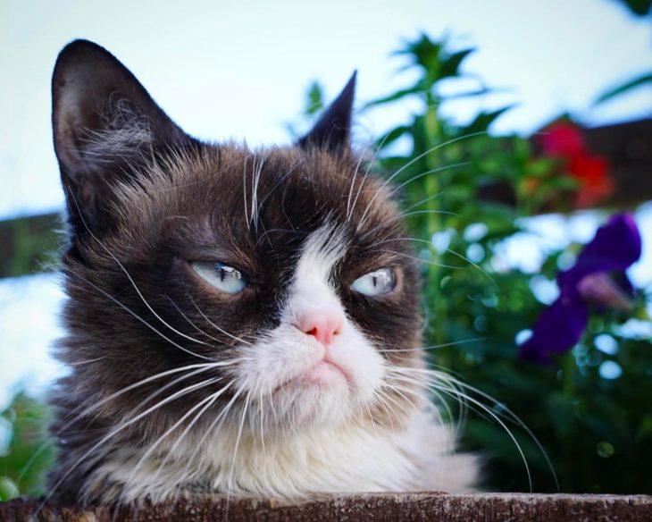 Grumpy cat o gata gruñona, gata siamesa de ojos azules con cara de enojada famosa por los memes, murió a los siete años