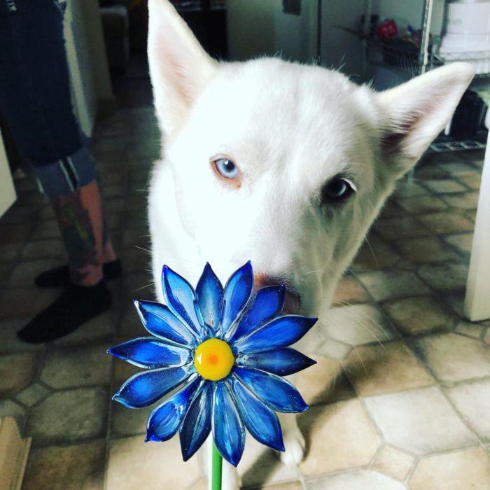 Davenport memorial glass crea joyas con vidrio y cenizas de mascotas; perro husky blanco de ojos azules; dije en forma de flor azul royal con centro amarillo