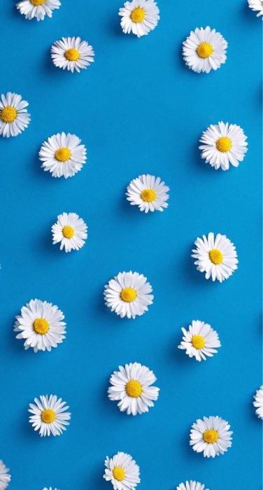 Wallpaper de naturaleza para celular; fondo de pantalla azul con margaritas, flores blancas con centro amarillo