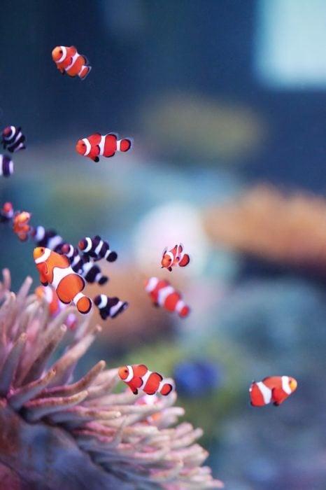 Wallpaper de naturaleza para celular; fondo de pantalla de pequeños peces payaso de color negro y rojo con rayas blancas, que se parecen a Nemo, en un coral