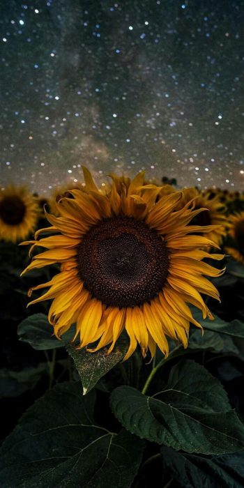 Wallpaper de naturaleza para celular; fondo de pantalla de girasol en la noche, campo de flores grandes de pétalos amarillos con hojas verdes y cielo con estrellas