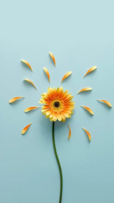 Wallpaper de naturaleza para celular; fondo de pantalla de flor gerbera, de pétalos anaranjados sobre un fondo azul