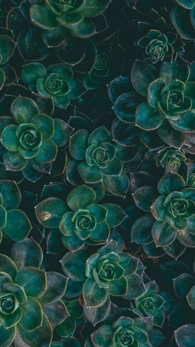 Wallpaper de naturaleza para celular; fondo de pantalla de flores del desierto, suculentas verdes