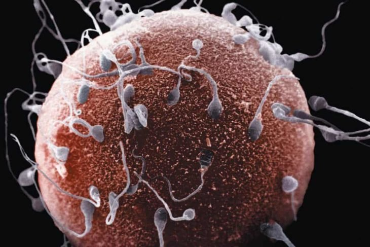 espermatozoides tratando de fecundar al óvulo