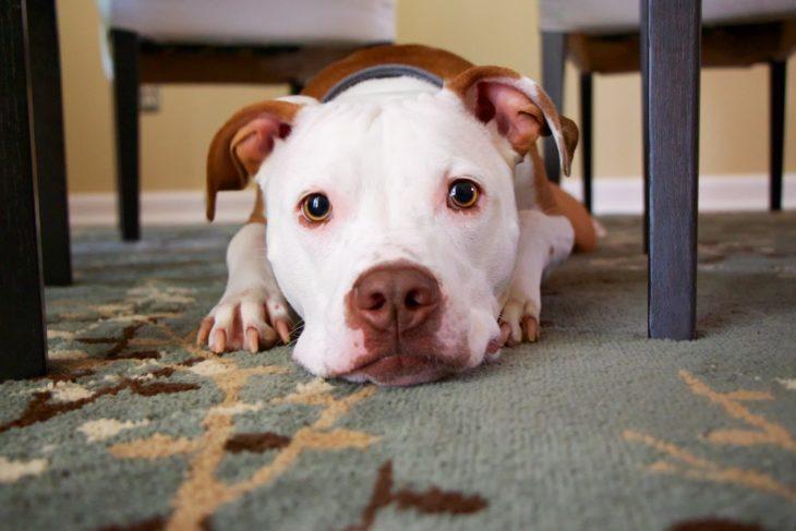 perro echado en la alfombra