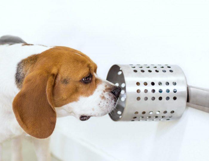 perro beagle olfateando una muestra en un tubo
