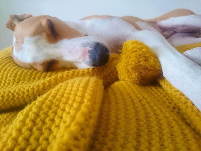 Perrito de un refugio recostado sobre un tapete de color morado