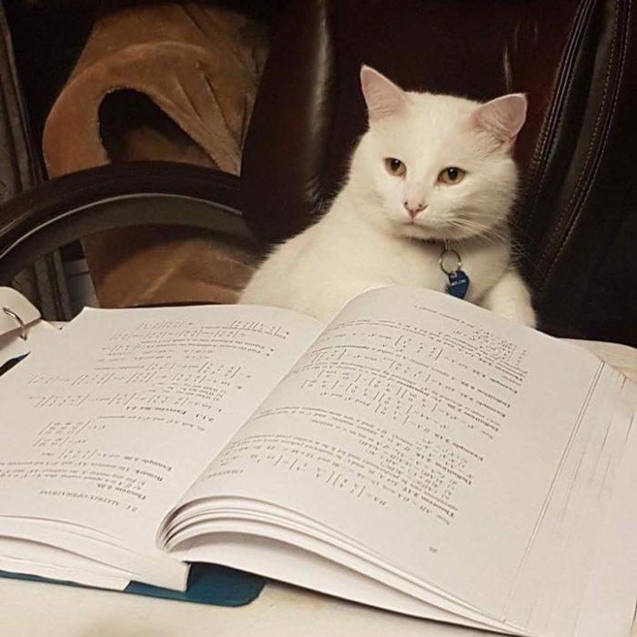 Gato blanco llamado smudge lord sentado en un sillón y leyendo un libro