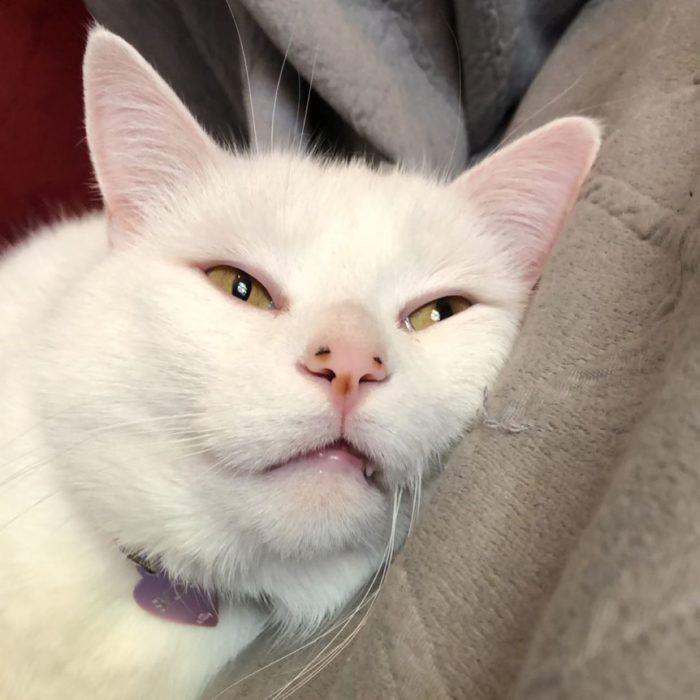 Gato recargado en un sofá con cara aburrida
