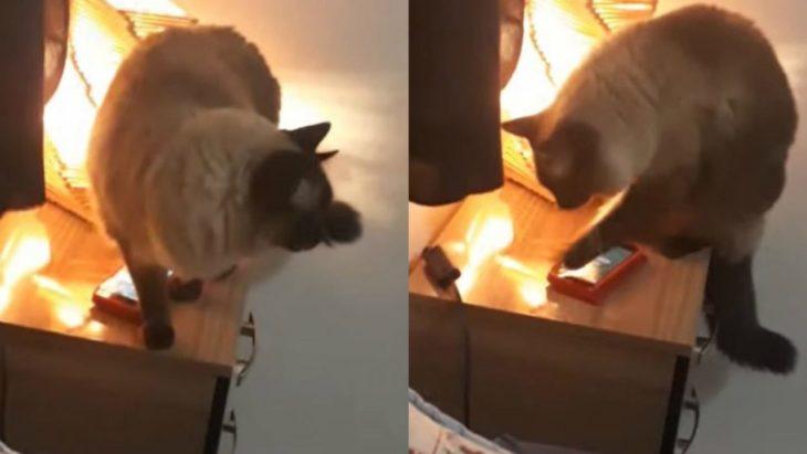 Joaquín, gato siamés apaga la alarma de su dueña en la mañana
