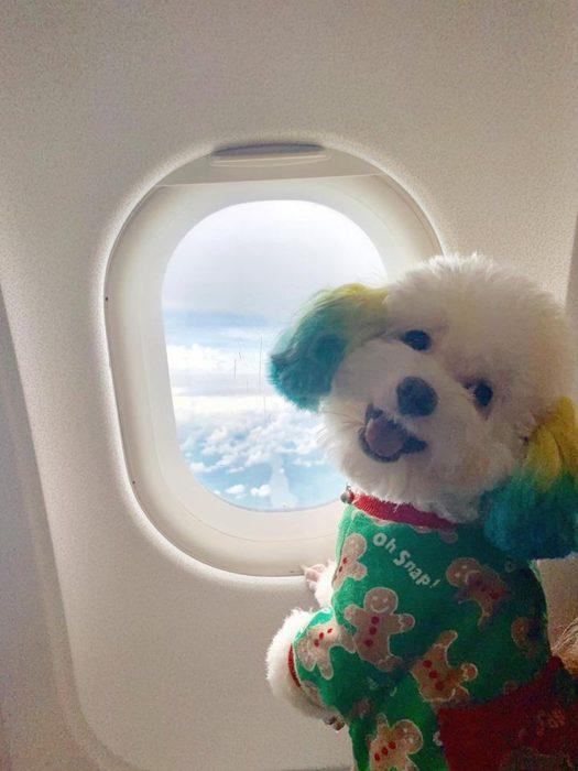 Mujer lleva de viaje a su perro french poodle blanco con orejas teñidas de verde y amarillo, can viajando en avión con suéter verde de galletas de gengibre