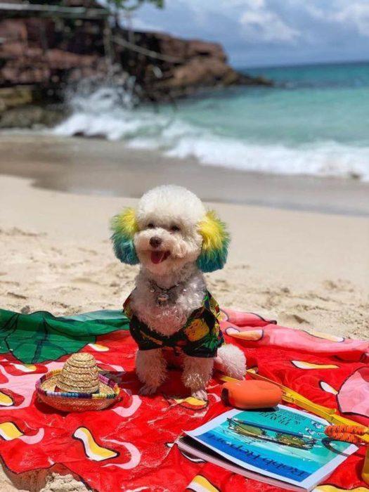 Mujer lleva de viaje a su perro french poodle blanco con orejas teñidas de verde y amarillo; perrhijo feliz en cobija en la playa