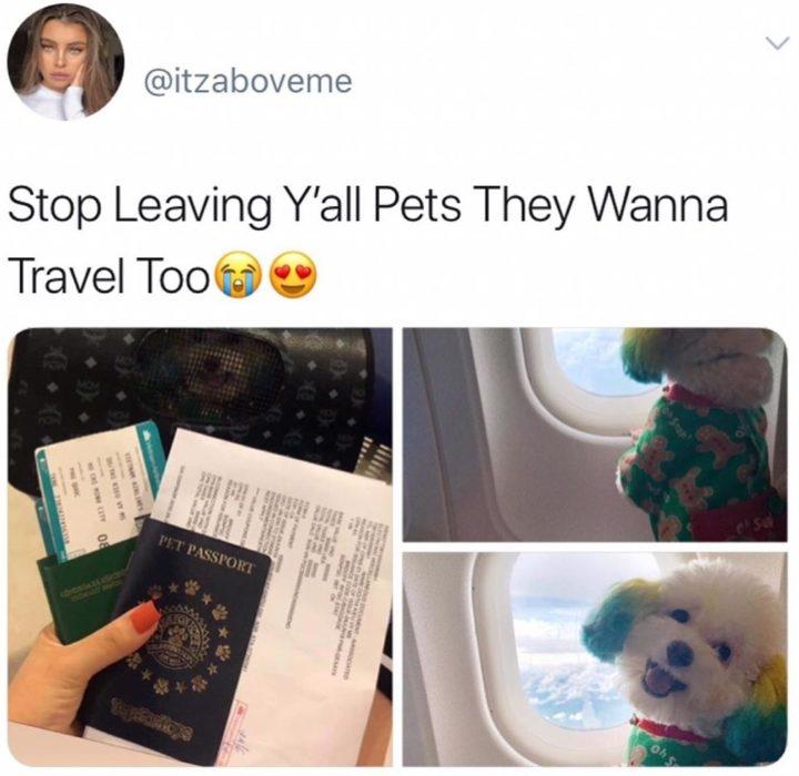 Mujer lleva de viaje a su perro french poodle blanco con orejas teñidas de verde y amarillo