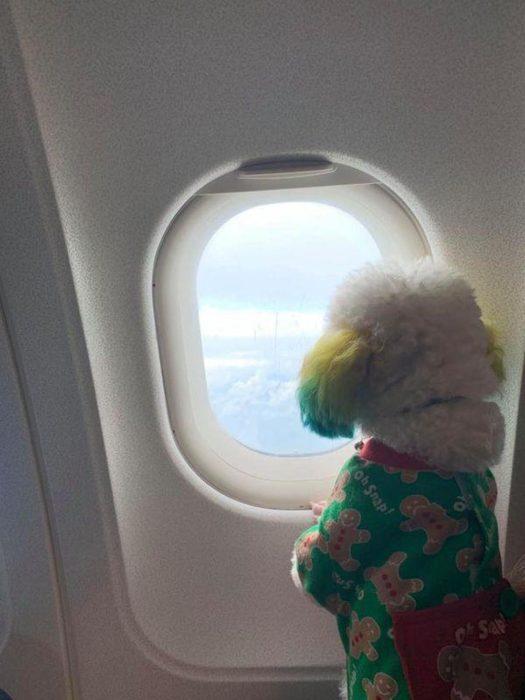 Mujer lleva de viaje a su perro french poodle blanco con orejas teñidas de verde y amarillo, can viajando en avión con suéter verde de galletas de gengibre, mirando por la ventana