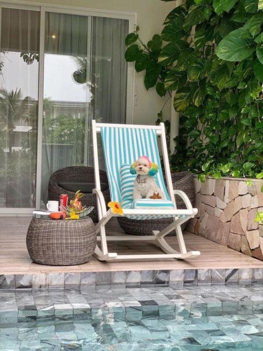 Mujer lleva de viaje a su perro french poodle blanco con orejas teñidas de verde y amarillo; perrhijo sentado en una silla playera al lado de la alberca