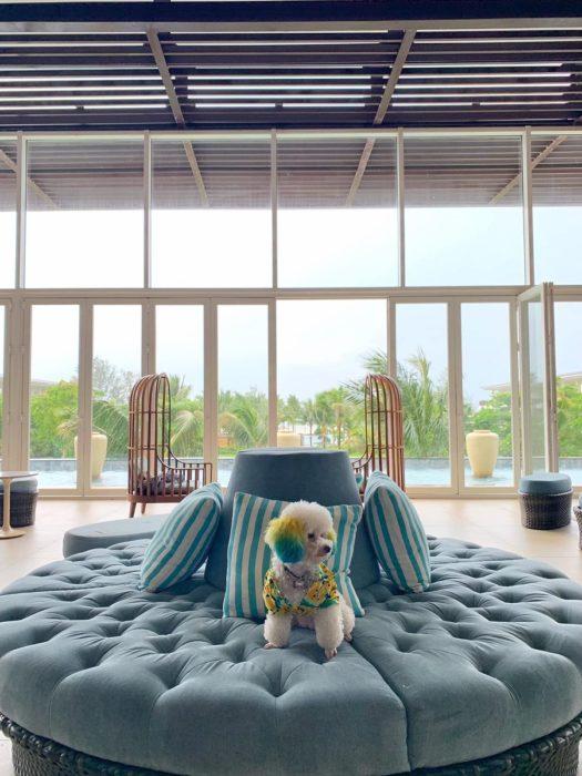 Mujer lleva de viaje a su perro french poodle blanco con orejas teñidas de verde y amarillo; can en el sillón del lobby de hotel