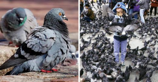 Muerte por enfermedad de la paloma causa alerta
